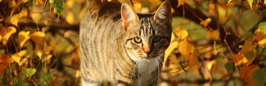 Dalajlamova kočka
